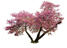 Isolated spring tree. Isolated on white pink spring bloom tree royalty free stock photography