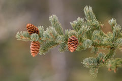 Isolated spruce bough with cones - outdoor Royalty Free Stock Photography