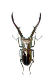 Isolated stag-beetle