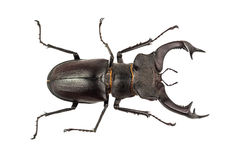 Isolated stag beetle. Live stag beetle on white background Royalty Free Stock Photo