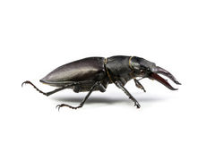 Isolated Stag Beetle Royalty Free Stock Photos