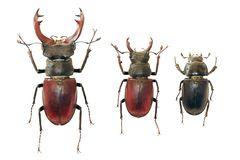 Isolated stag-beetles family royalty free stock photos