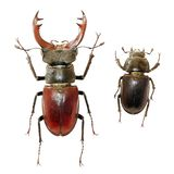 Isolated stag-beetles family stock images