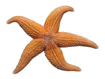 Isolated starfish Stock Image