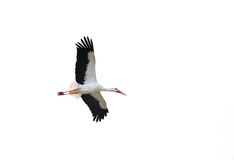 Isolated stork in flight Stock Photo
