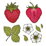 Isolated strawberries. Graphic stylized drawing. Stock Photo
