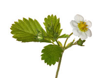 Isolated strawberry branch with flowers Royalty Free Stock Images