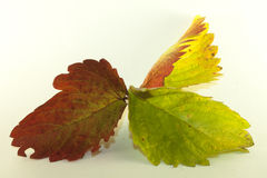 Isolated strawberry leafs in autumn. Isolated red and green strawberry leafs in autumn Stock Illustration