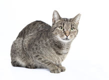 Isolated striped cat. Black and gray tabby cat looking to the side, white background isolated royalty free stock images