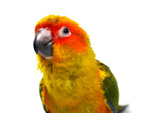 Isolated sun conure bird Stock Photography