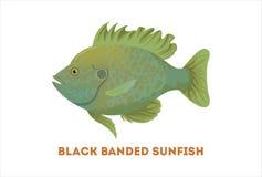 Isolated sunfish fish. Isolated sunfish fish on white background. Fresh food Royalty Free Stock Image