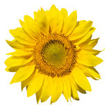 Isolated sunflower. On white fone Royalty Free Stock Images