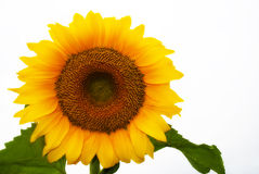 Free Isolated Sunflower Stock Photography - 15118942