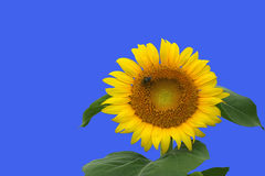 Isolated Sunflower. A sunflower isolated with clipping path Stock Photo
