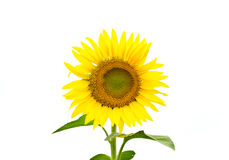Isolated sunflower Royalty Free Stock Photography