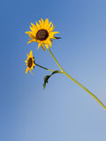 Isolated sunflower Stock Image