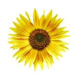 Isolated sunflower Royalty Free Stock Photos