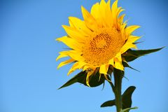 Isolated Sunflower Against Blue Sky in Willamette Valley, Oregon Stock Images