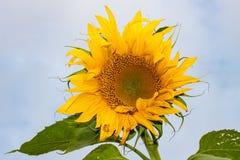 Isolated Sunflower Against Blue Sky Royalty Free Stock Photos