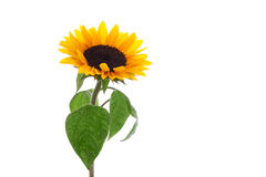 Isolated sunflower with beautiful leaves Royalty Free Stock Images
