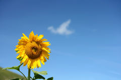 Isolated sunflower in blue sky Royalty Free Stock Photo