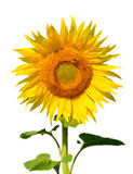 Isolated sunflower Royalty Free Stock Photo