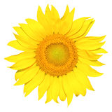 Isolated sunflower Stock Photo