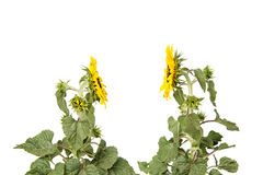 Isolated sunflower chat profile stock images