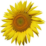 Isolated sunflower closeup Stock Photo