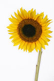 Isolated Sunflower with copyspace Stock Image