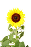 Isolated sunflower front view royalty free stock photography