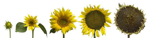 Isolated sunflower generations Stock Photos