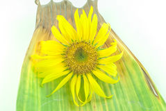 Isolated Sunflower head on white background Royalty Free Stock Photos
