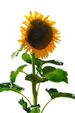 Isolated sunflower. An imperfect big sunflower isolated on the white background Royalty Free Stock Photo