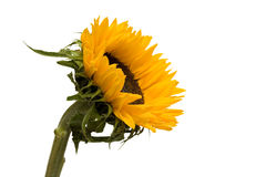 Isolated sunflower laterally Stock Photos