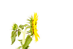 Isolated sunflower profile royalty free stock images