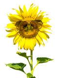 Isolated sunflower wearing a  sunglasses Stock Photography