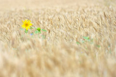 Isolated Sunflower in wheat field Stock Image