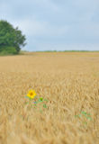 Isolated Sunflower in wheat field Stock Photos