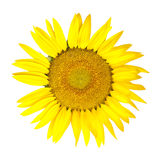 Isolated sunflower on white Royalty Free Stock Photo