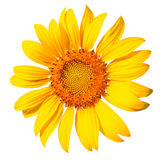 Isolated sunflower on the white background. Stock Photos