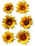 Isolated sunflowers Stock Photography