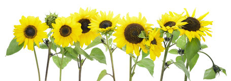 Isolated sunflowers border Stock Image