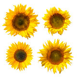 Isolated Sunflowers Royalty Free Stock Image