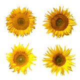 Isolated Sunflowers. Some isolated sunflowers on a white background Royalty Free Stock Photos