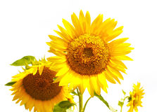 Isolated sunflowers Stock Photo