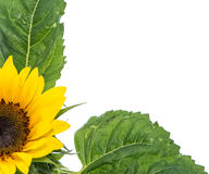 Isolated Sunflowers Royalty Free Stock Photos