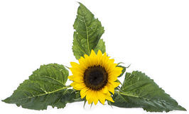 Isolated Sunflowers Royalty Free Stock Images