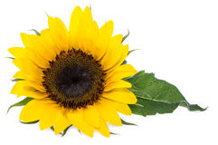 Isolated Sunflowers Royalty Free Stock Photography