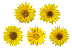 Isolated sunflowers on the white background. Stock Photos